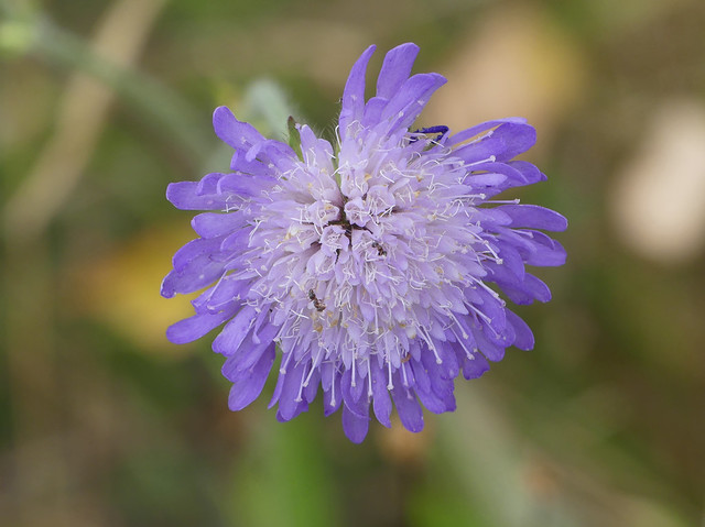 Field Scabious (Knautia arvensis)