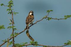 Shelley's Rufous Sparrow - 27-08-06_Murchison Falls - Uganda NP Uganda 06_5442