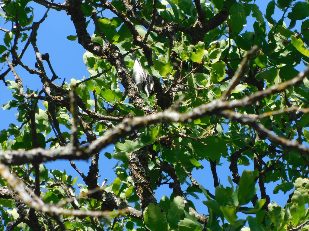 Black-throated Gray Warbler at Mitchell Canyon