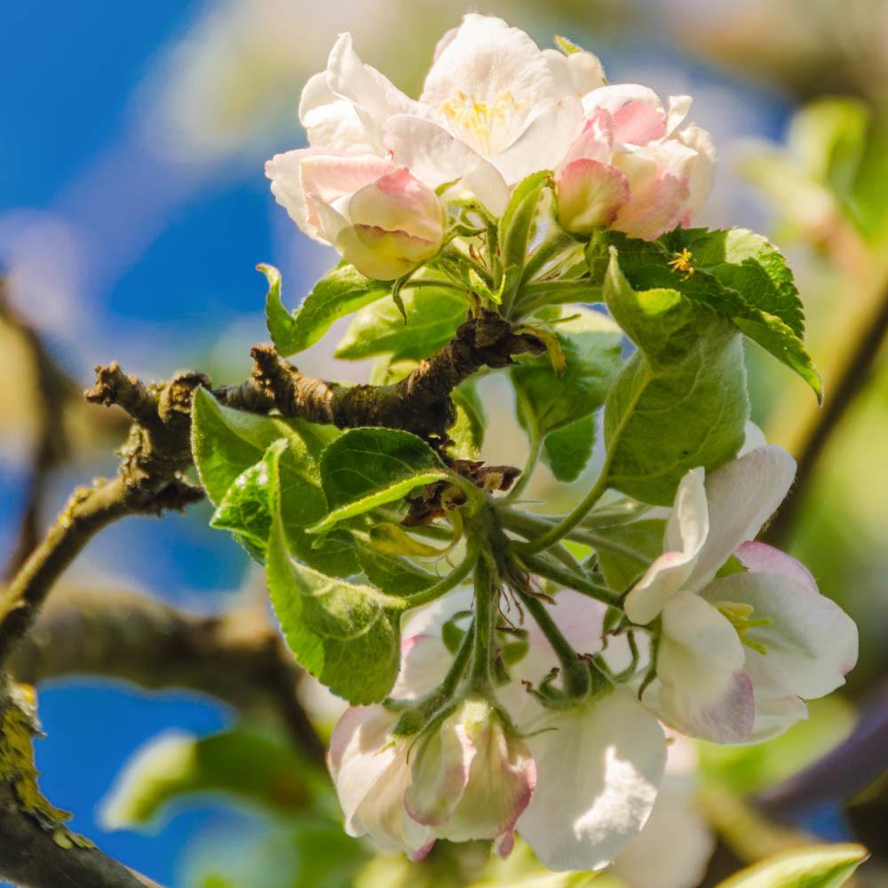 Apfelblüte_038