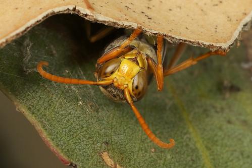 Wasp - Polistes sp
