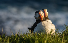 The very rare double-headed puffin