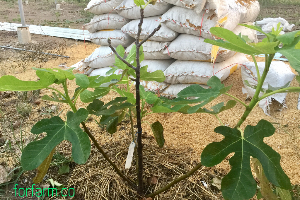 มะเดื่อฝรั่ง (Figs) ติดลูก