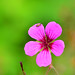 Hemiptera on pink flower