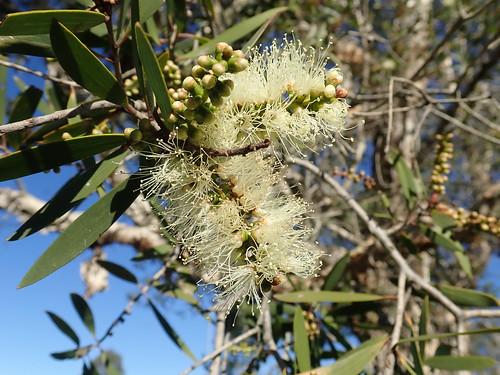 Melaleuca quinquenervia flowerhead NC 3
