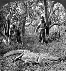 Captured alligator in a mangrove swamp