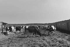 «On a cow farm»