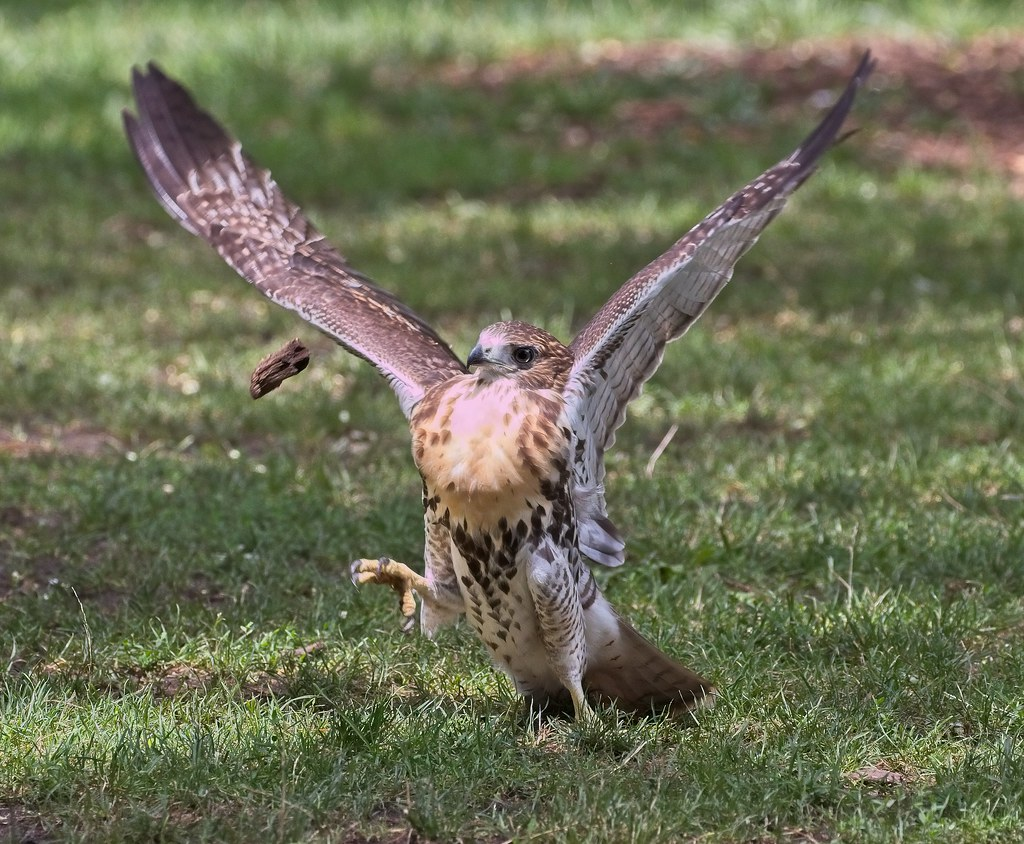 Tompkins red-tail fledgling playing with a piece of wood