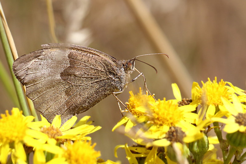?? Meadow Brown