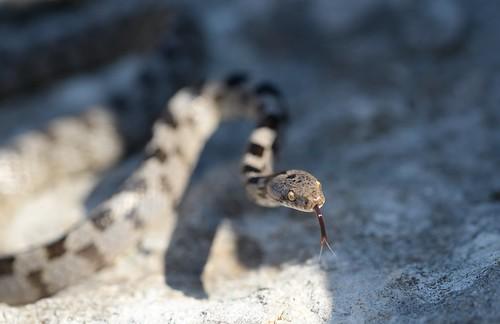 Cat Snake (Telescopus fallax) 1 of 5 images