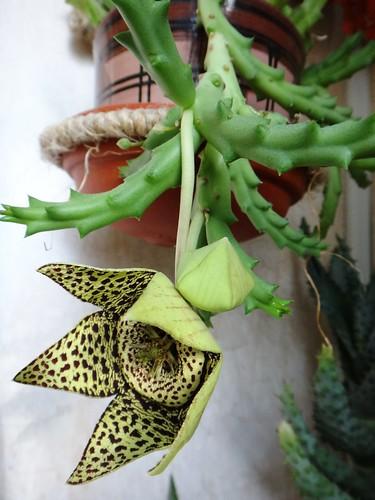 Второй цветок орбеи крупнее