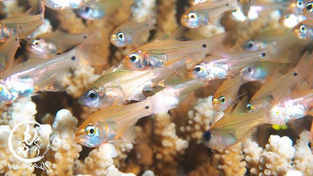 色んな種類の幼魚がわっさ~♪