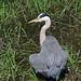 IMG_9911 Grey Heron