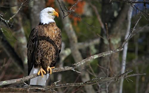 Bald Eagle Teal River Chequemagon N.F.