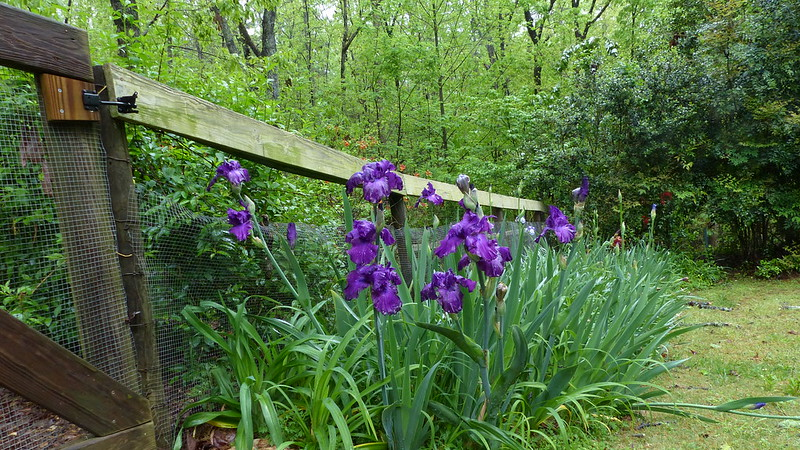 Irises along the fence