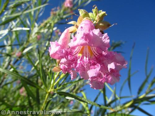 Desert blossoms in the Red Hills Desert Garden of Pioneer Park of St. George, Utah