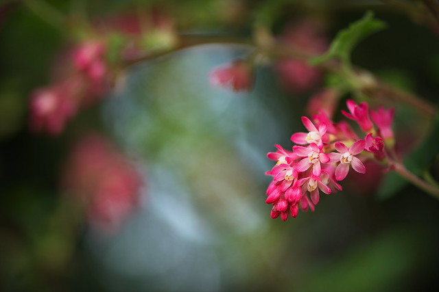 Red-flowering Currant / Zierjohannisbeere (Ribes sanguineum)