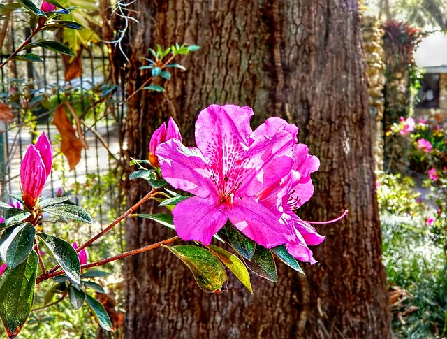 Pink Azaleas by the Fence