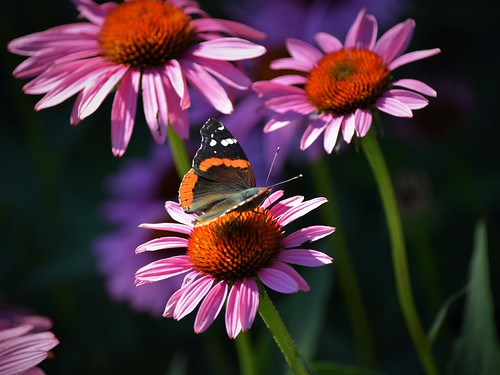 Red Admiral and Echinacea