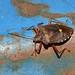 Forest Bug or Red-legged Shieldbug (Pentatoma rufipes)
