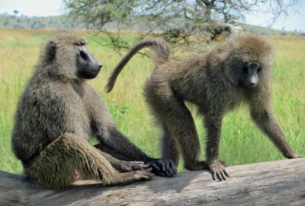 baboons-serengeti