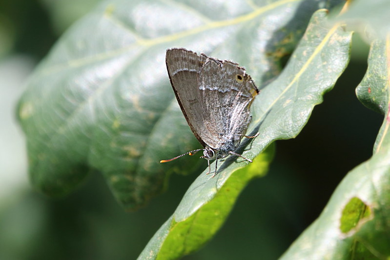 Purplae Hairstreak