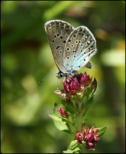 Large Blue on Wild Thyme