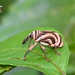 Unidentified Weevil by Antonio Giudici Butterfly Trips