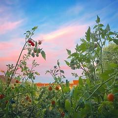 Tomato sunset