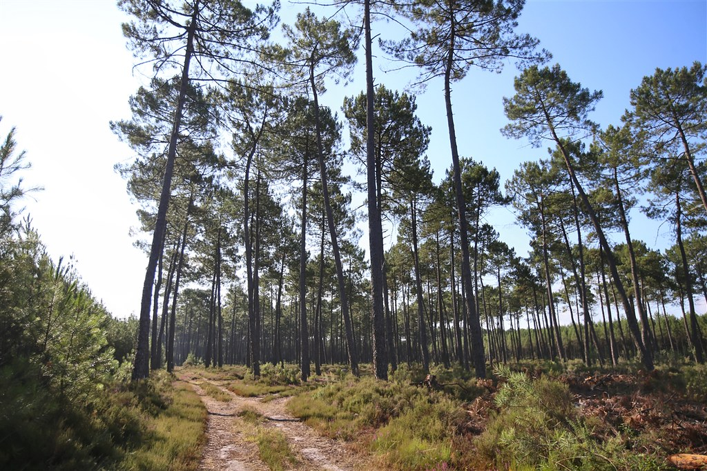 La forêt des Landes en été