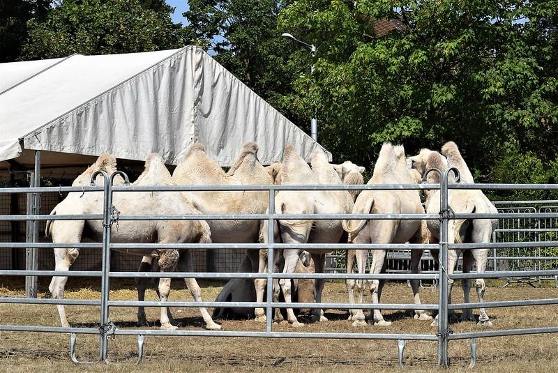 Camel Dromedary 07.08 (8)