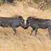 slice48666 posted a photo:	Juvenile warthogs playing in the Okavango Delta, Botswana