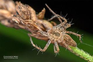 Lynx spider (Oxyopidae) - DSC_6863