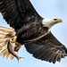 Bald Eagle by Northrup