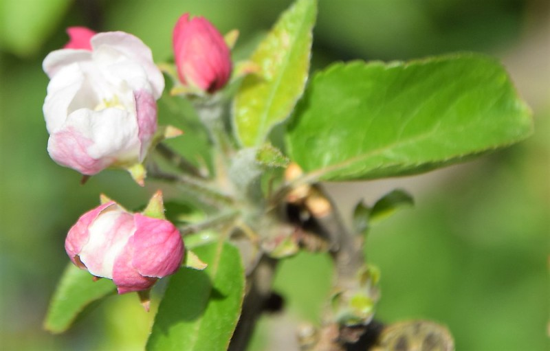Apple Blossom 22.04 (7)