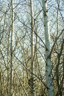 20180326-45_Silver Birch (Betula) - Cawston Grange