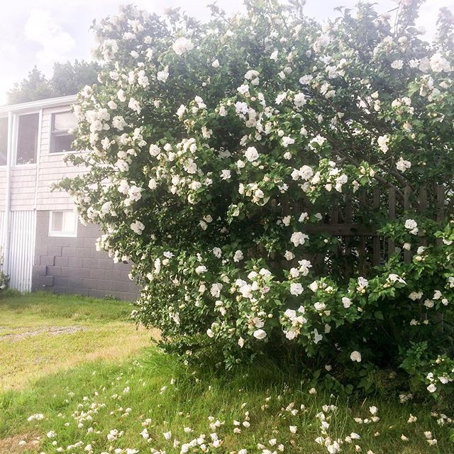 Monster rose bush at my house. Rose of Sharon? Not sure - the blossoms are white and have no aroma. Bees have hit the jackpot, they're stoked!