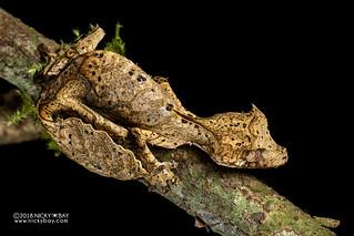 Satanic leaf-tailed gecko (Uroplatus phantasticus) - DSC_7626b