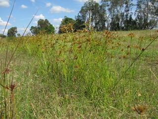 Cyperus polystachyos plant NC9
