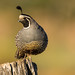 California Quail (Callipepla californica) Male by Brown Acres Mark