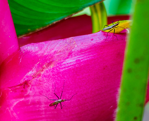 Heliconia with guests