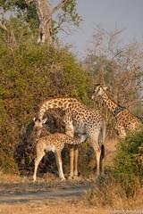 Giraffe motherhood joy