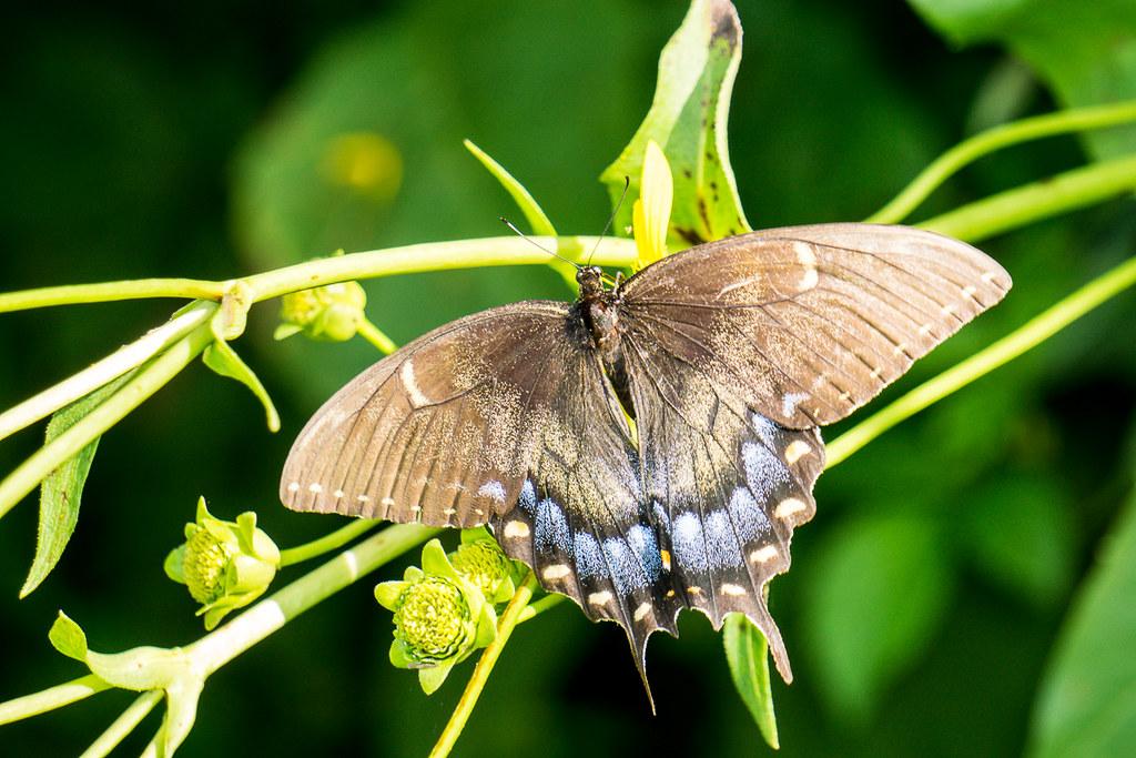 Female Black Swallowtail (?)