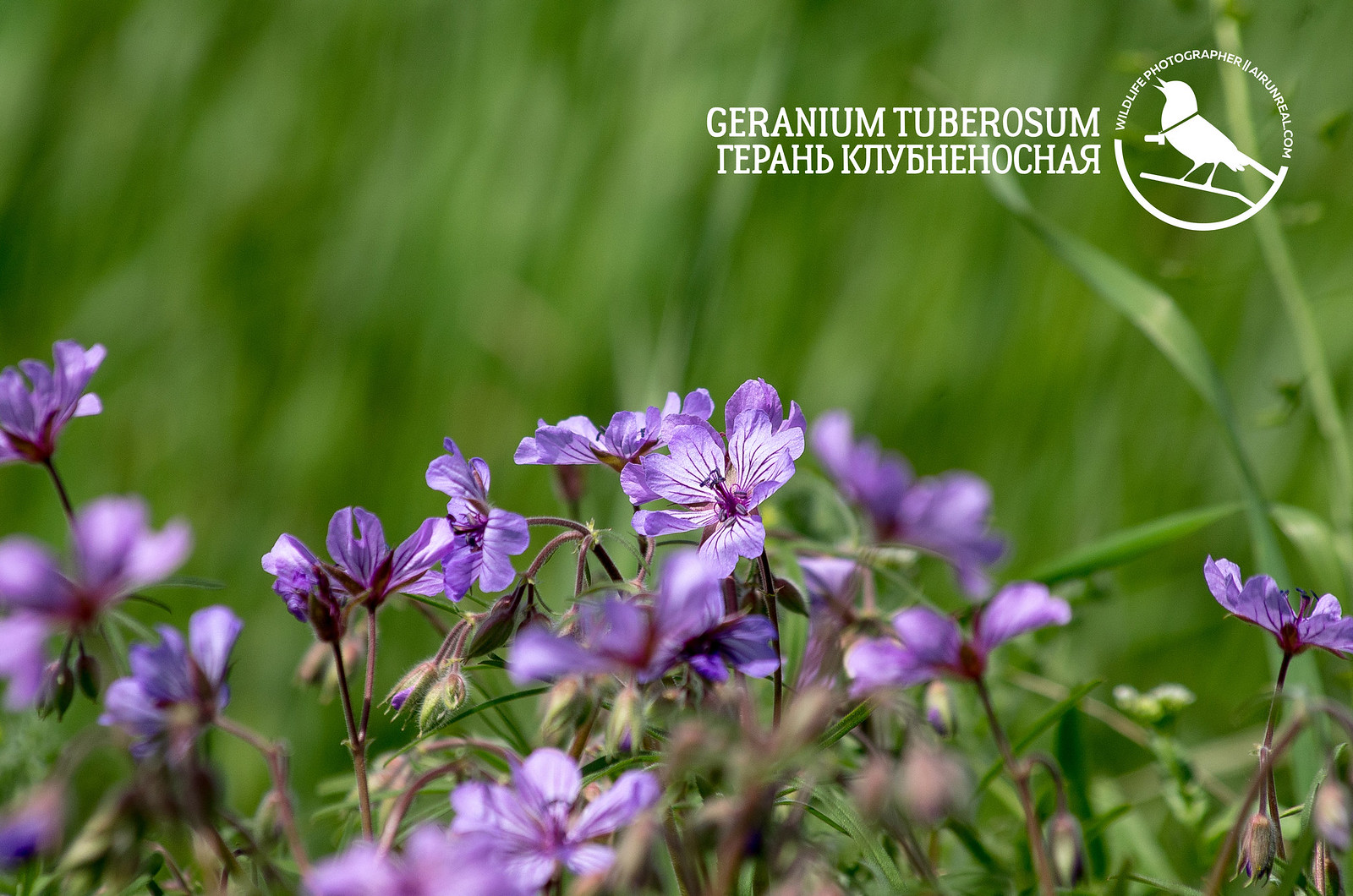 Geranium tuberosum // 20180809
