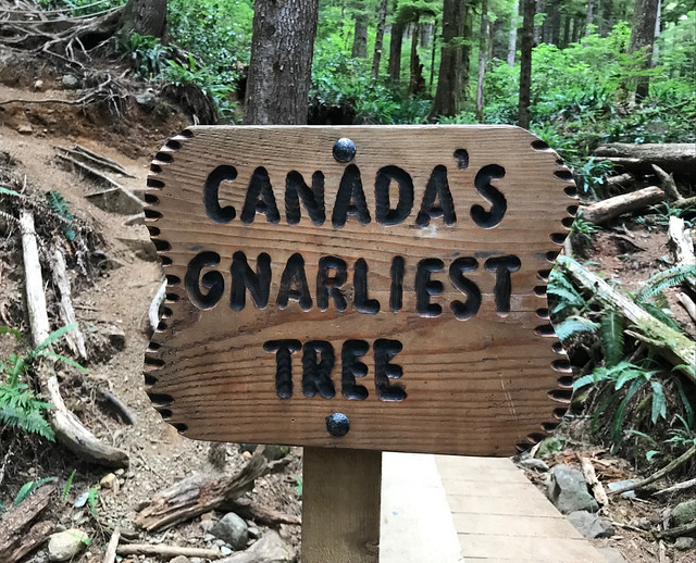 Canada's Gnarliest Tree