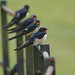 Swallows at Stourhead
