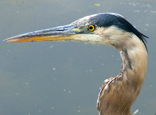 bird heron pond backyard blueheron coolest kentwa featheryfriday specanimal shesnuckinfuts