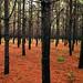 Pines on fire by Jeremiah Bert