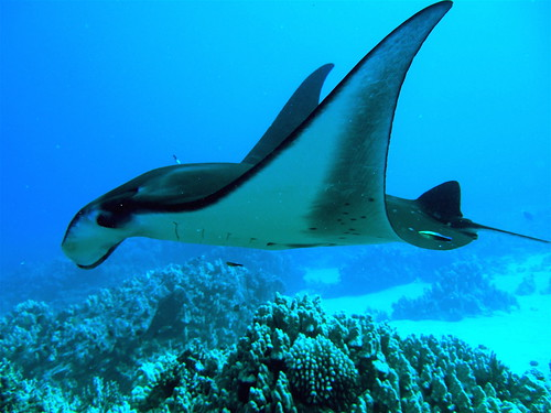 Manta Ray and Cleaner Wrasse - Hawaii