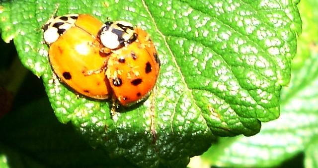 mating lady beetles | Flickr - Photo Sharing!